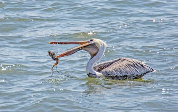 Brown pelican with catch-3.jpg