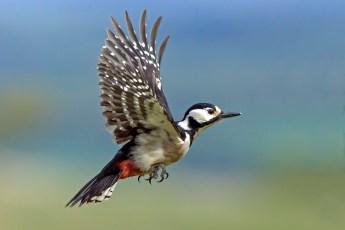 Woodpecker in flight.jpg
