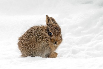 Mountain Hare Leveret