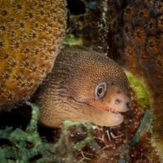Goldentail Moray Eel, Bonaire