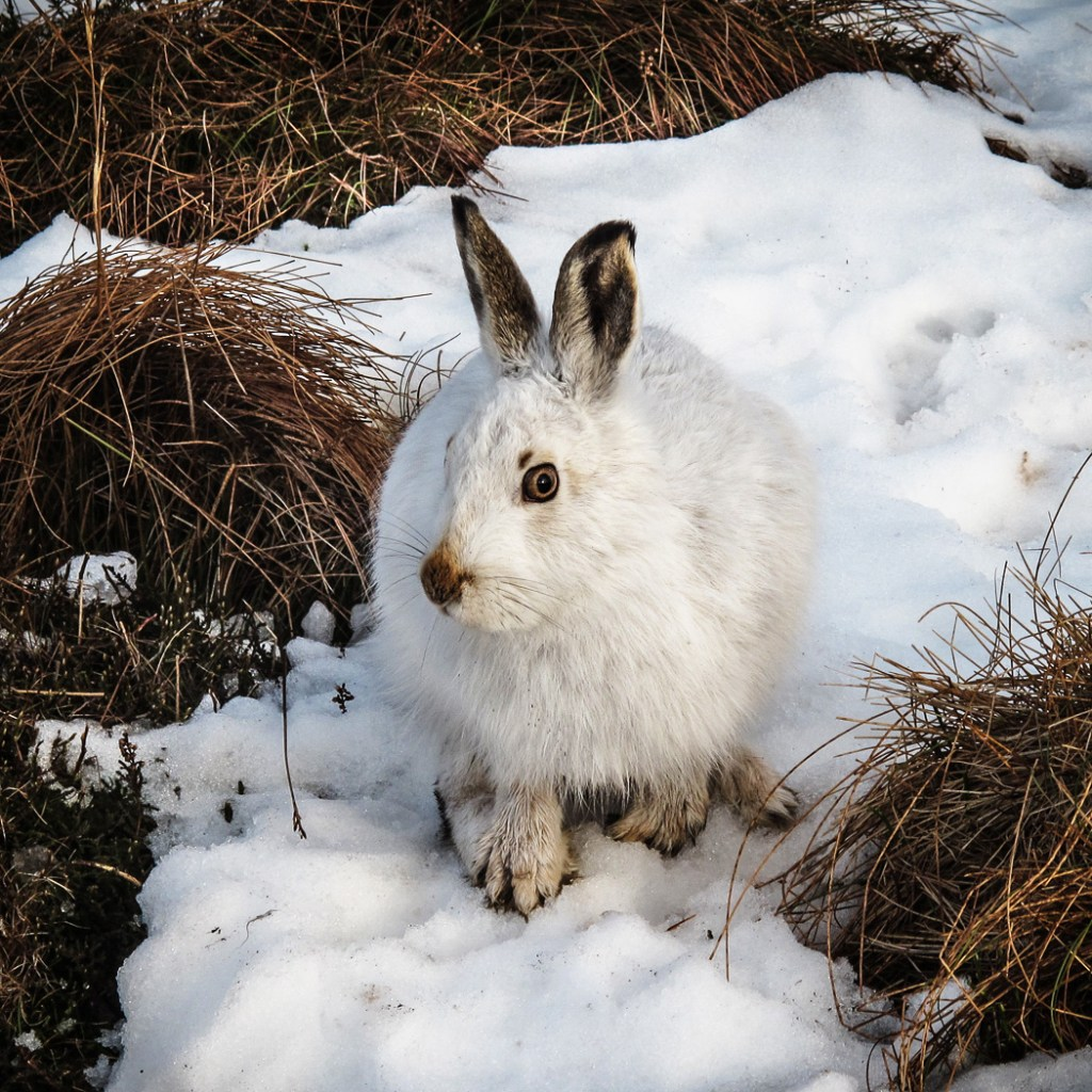 09_Mountain hare by Alastair Bisset