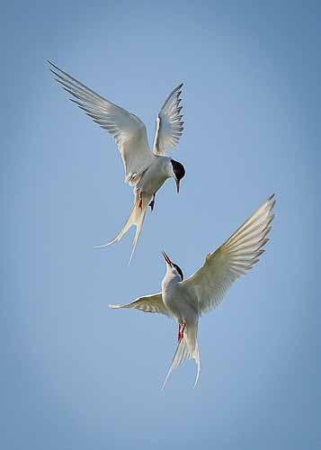 Tern Tango by Jim Moir