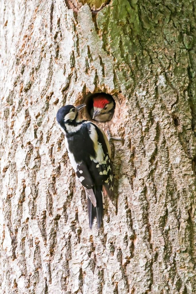 David Wolfenden - Woodpecker at Nest