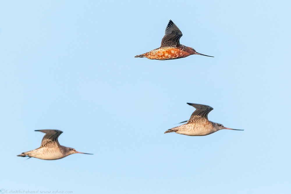 Godwits_TW3_0871-Edit6x4WEB
