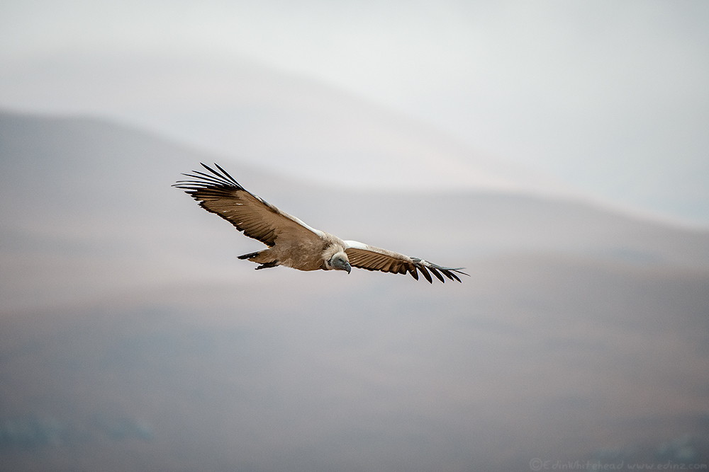 Cape_Vulture_TW7_7881-Edit6x4WEB.jpg