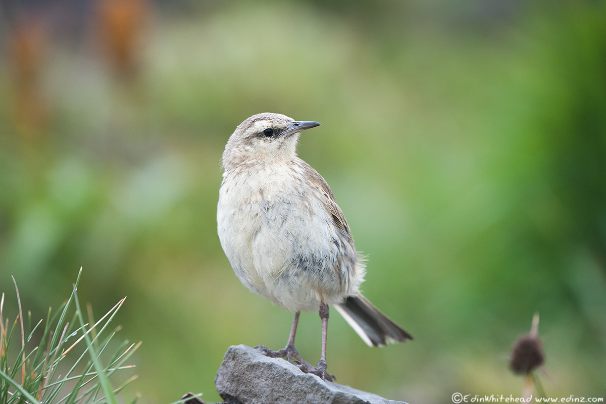 Campbell_Pipit_TW7_2607-Edit6x4WEB