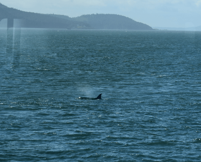 Orca Whales in the Puget Sound