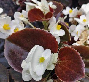 μπιγκόνια λευκή από είδη λουλουδίών