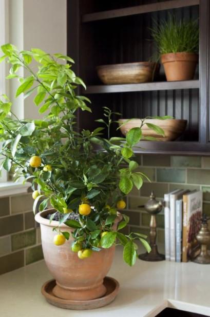 λεμονιά γλάστρα φυτά κουζίνα