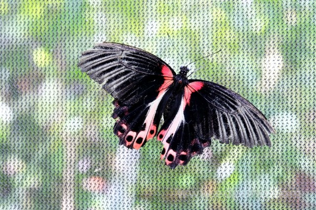 black butterfly philippines