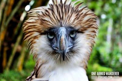 Fighter in Philippine Eagle Center Davao