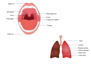 Oral Diagram | Free Oral Diagram Templates