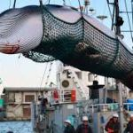 Withdrawal from International Whaling Commission