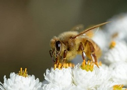Bee Vaccin
