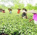 Donyi Polo Tea Estate's Golden Needles auctioned for Rs 75000
