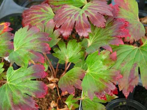 Woodland Plants - Herbaceous Woodlanders - Mukdenia rossii ...