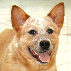 Australian Cattle Dog ou Bouvier d'Australie
