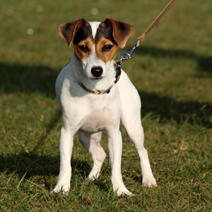 Jack russell aline aubl - Le chien a taches ...