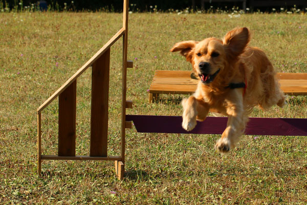 Golden retriever en agility