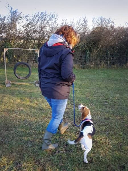 Beagle en éducation canine à Menotey