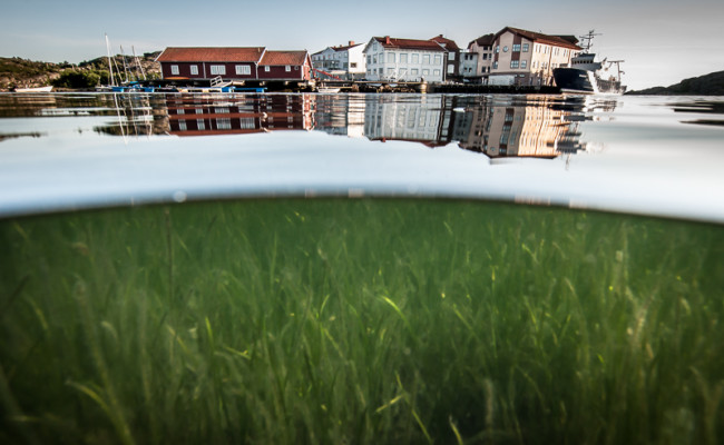 Eelgrass bed in front of Kristineberg Station