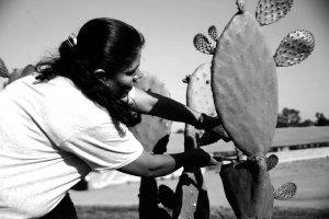 Mujer indígena oaxaqueña cortando nopales en Madera, California (Foto: Eduardo Stanley)
