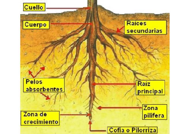 la raiz, las plantas