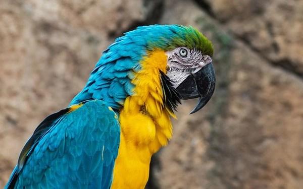 Guacamayo amarillo y azul