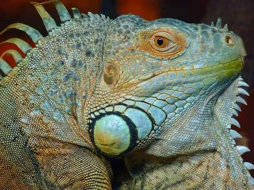 iguana verde curiosidades