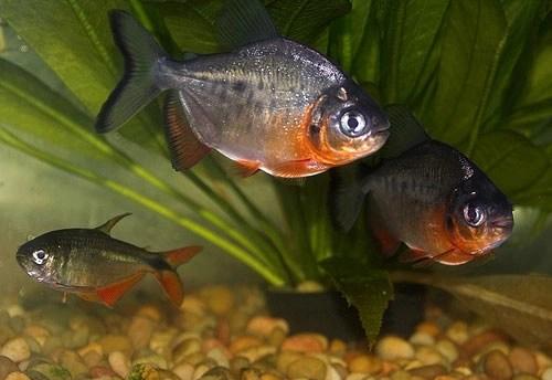 pez come testículos