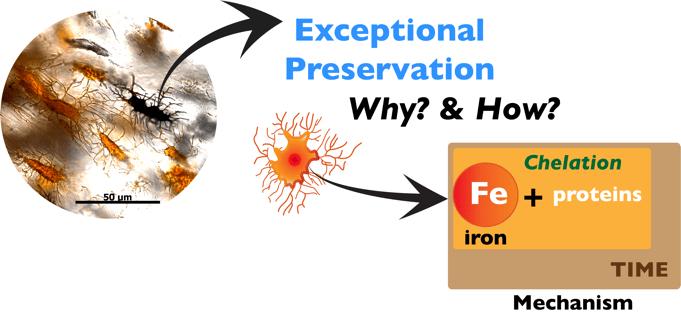dinosaur-protein-preservation