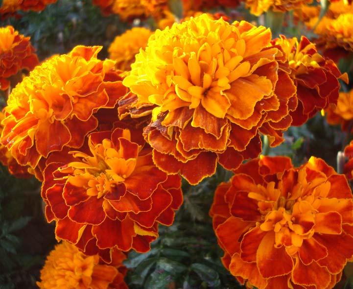 Types Flowers Annuals Orange
