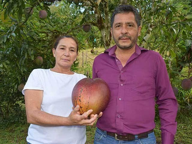 The world's largest mango, weighing more than four kilograms