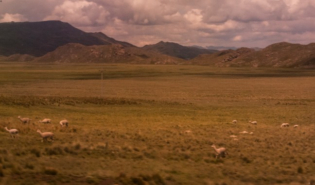 La manada Carretera Arequipa a Juliaca, Perú