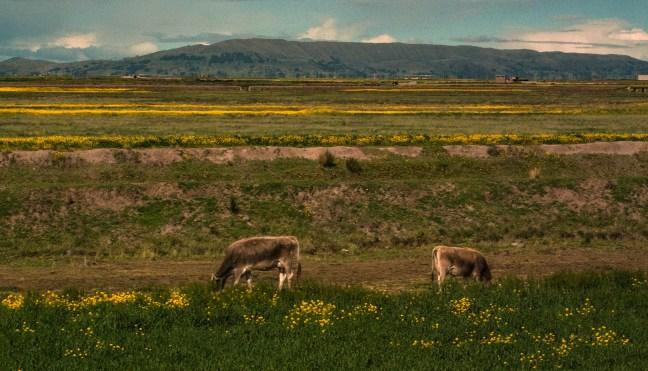 Pastando Carretera de Arequipa a Juliaca, Perú