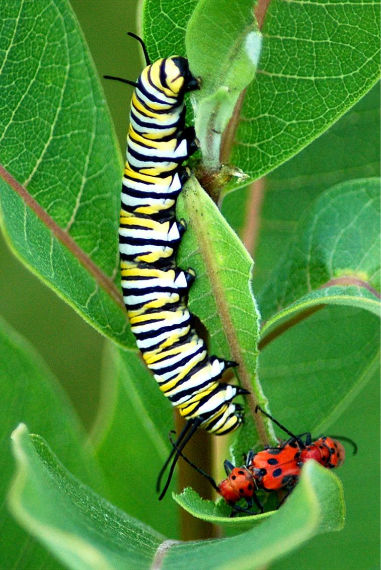 Red Butterfly Milkweed Asclepias Curassavica Red: Art, Spirit, Nature