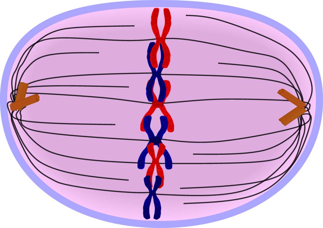 Image result for metaphase