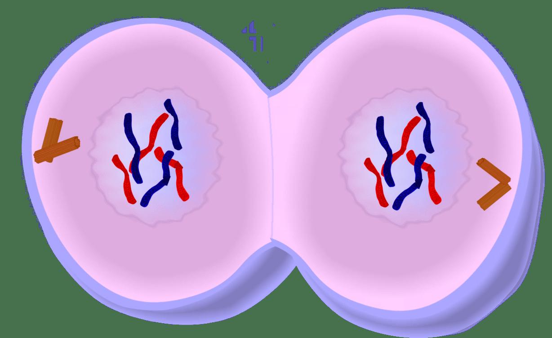 Image result for telophase