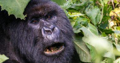 gorilla in Virunga NP Congo Kinshasa