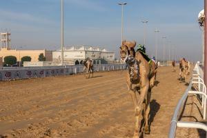 Camel Racetrack / Al Shahaniya / Qatar