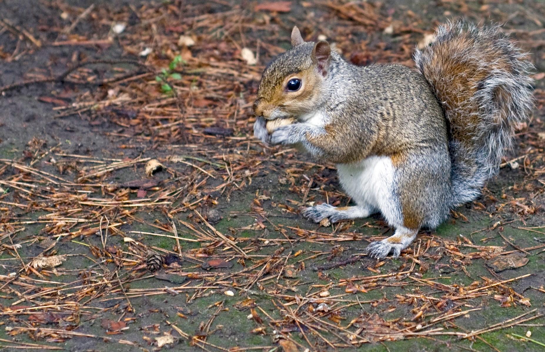 Squirrel in Royal Botanic Gardens