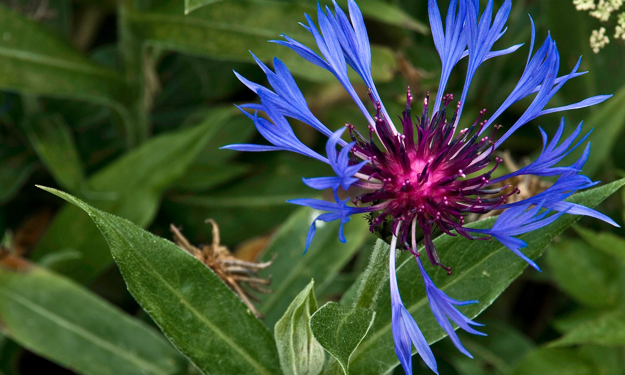 Blue and Purple Spiked Flower