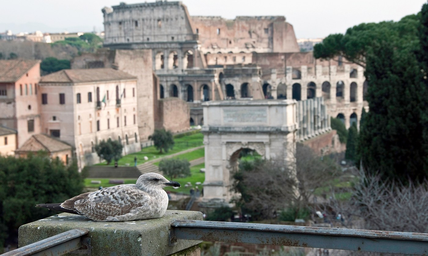 Seagull in front of the Colosseum