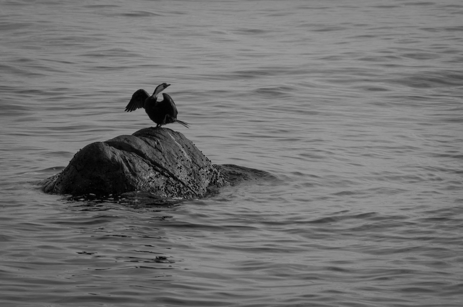 Black Shag on Rock