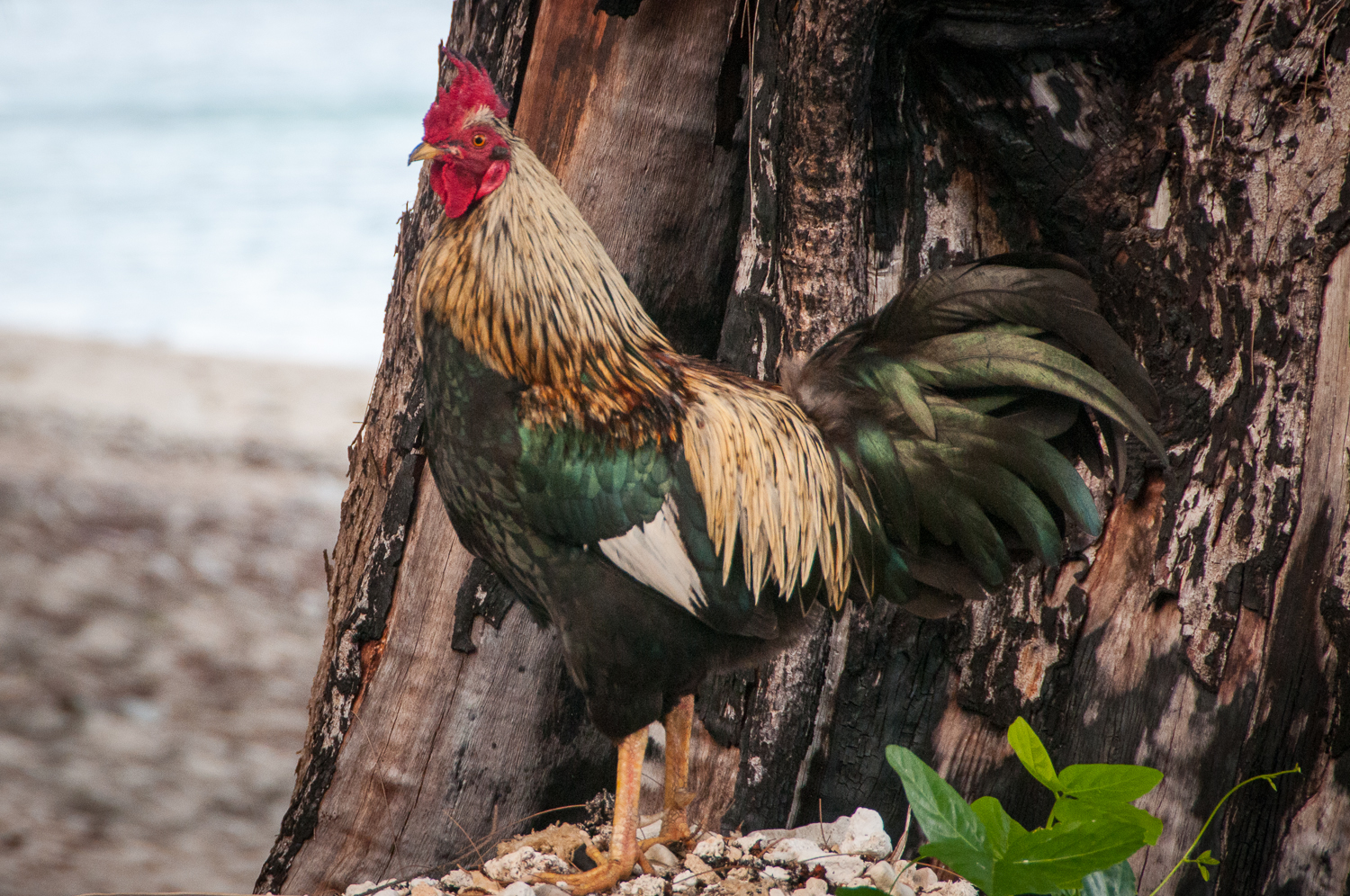 Cockerel on the Beach