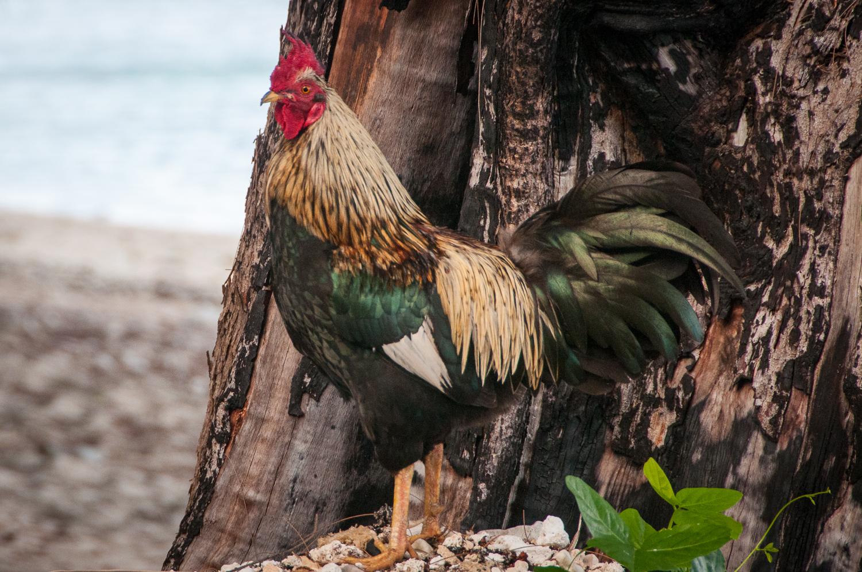 Cockerel on the Beach