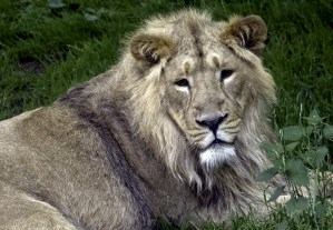 Asiatic Lion at Edinburgh Zoo