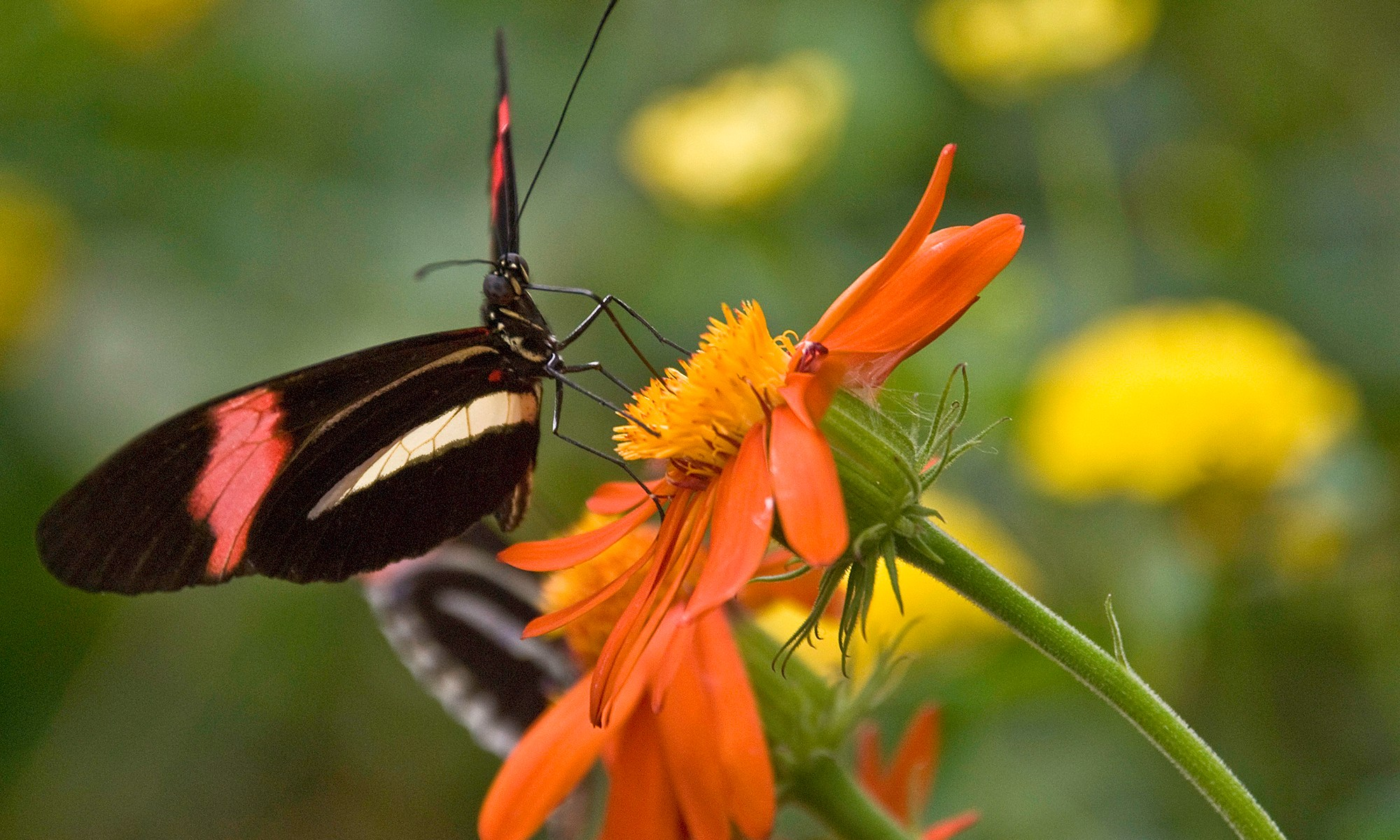 Black and Red Butterfly on Orange Flower