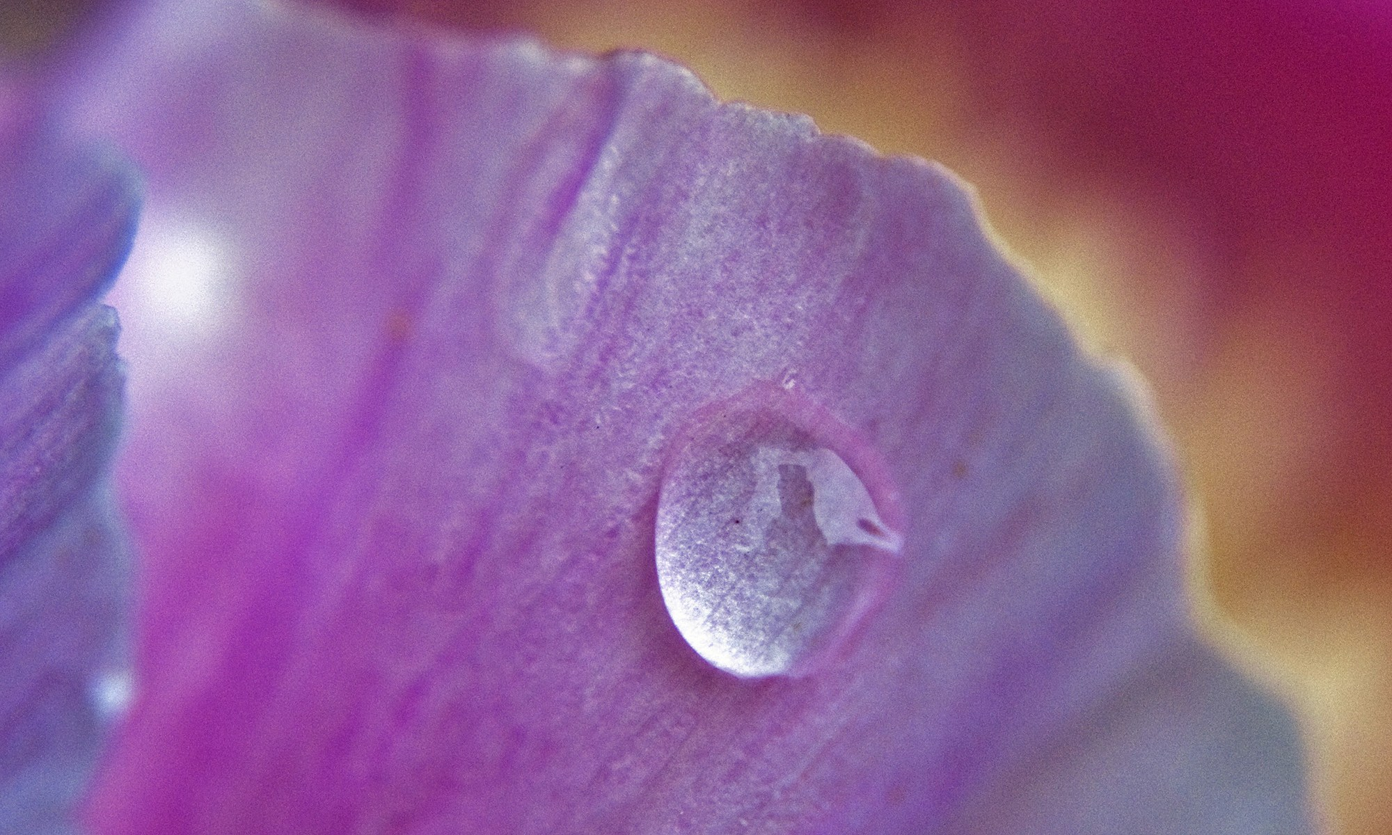 Drop of water on Pink Flower Petal