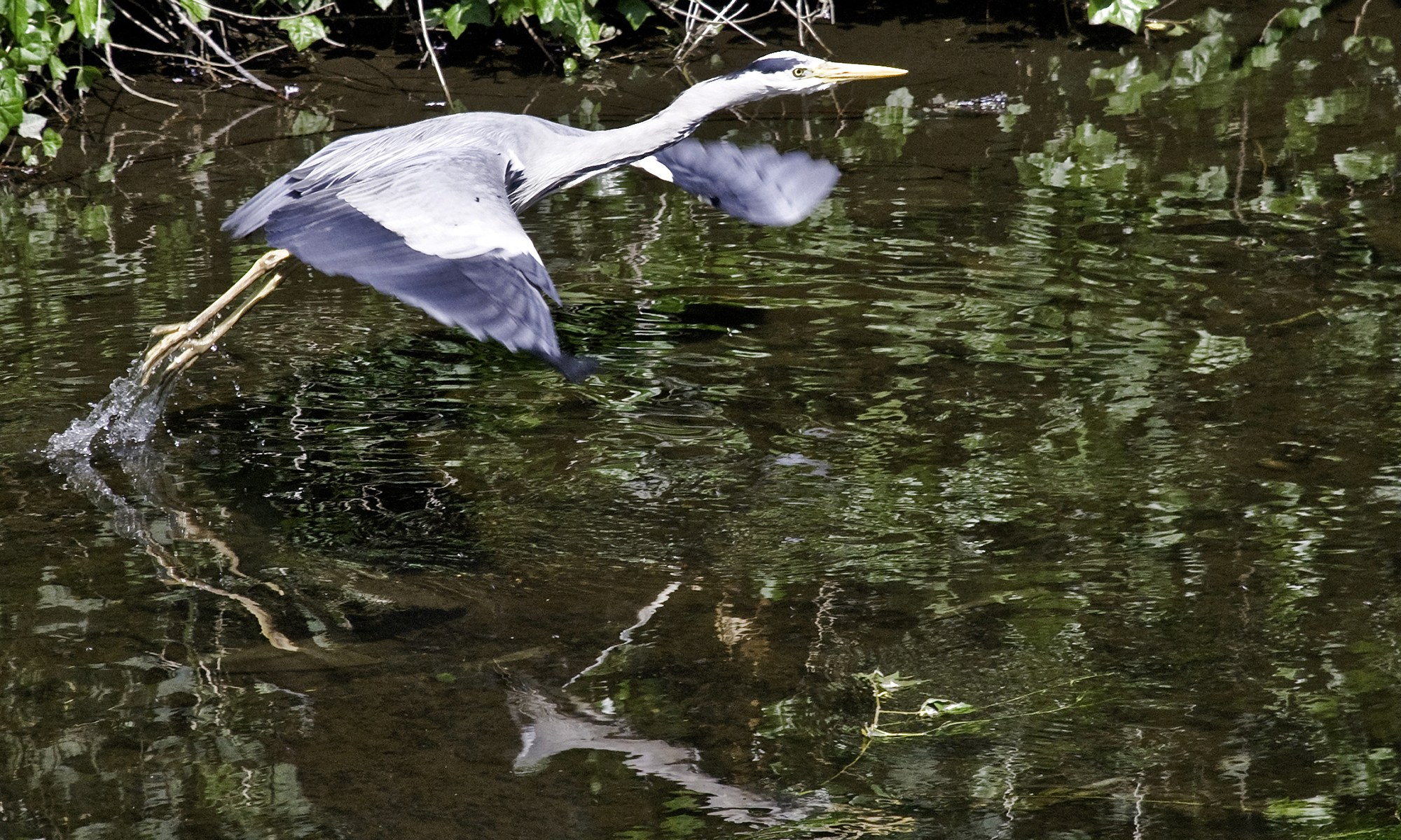 Heron taking off from the Water of Leith